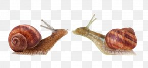 Kiss Of Two Snails - Artist Animal Photography Food PNG