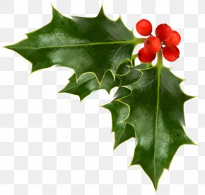 Holly Illustration Material - Christmas Decoration Common Holly Christmas Ornament Clip Art PNG