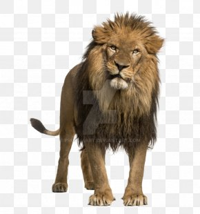 Lion Drawing - Leopard African Lion Roar Stock Photography White Lion PNG