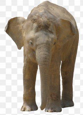 Elephant - Indian Elephant African Bush Elephant PNG