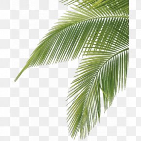 Leaf - Arecaceae Frond Leaf Palm Branch Tree PNG