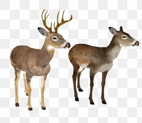 Whitetail Deer Head - White-tailed Deer Clip Art PNG