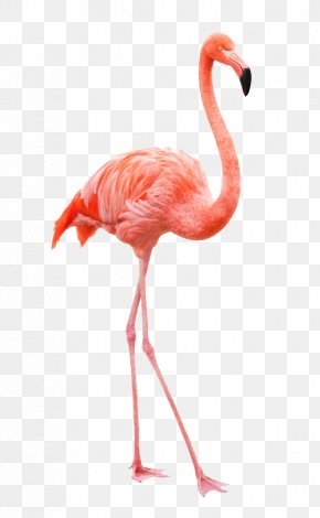 Flamingos - Plastic Flamingo American Flamingo Chilean Flamingo Clip Art PNG