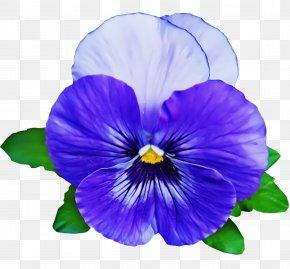 Violet Family Viola - Flower Violet Petal Pansy Purple PNG