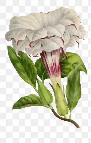 Anthurium Petal - Flower White Plant Pink Petal PNG
