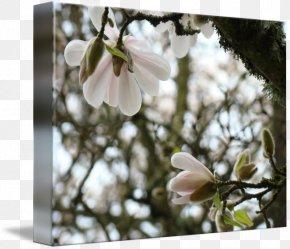 Magnolia - Magnolia Flower Blossom Spring Tree PNG