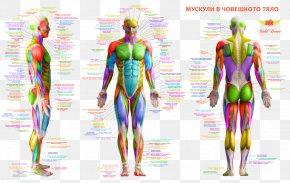 Human Body - Muscle Human Body Human Back Human Anatomy PNG