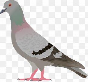 Pigeon Image - English Carrier Pigeon Columbidae Bird Clip Art PNG