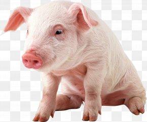 Pig Image - Pig Wallpaper PNG