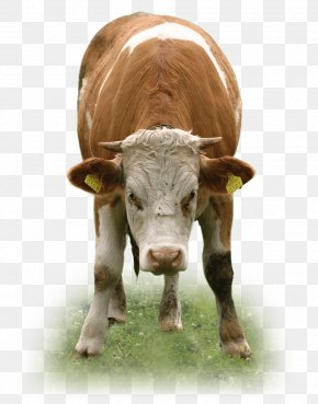 Cattle - Texas Longhorn Beef Cattle Calf Ox Dairy Cattle PNG