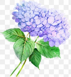Flower - French Hydrangea Watercolor Painting Flower Clip Art Illustration PNG