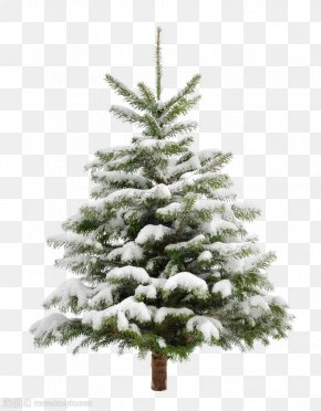 Pine Trees - Christmas Tree Snow Fir Pine PNG