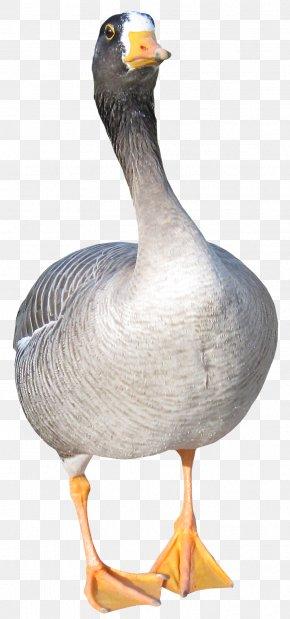 Duck - Duck Goose Bird Clip Art PNG