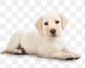 Puppy - Puppy Labrador Retriever Golden Retriever Clip Art PNG