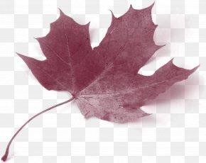 Maple Leaf - Canada Acer Circinatum Maple Leaf Autumn Leaf Color PNG