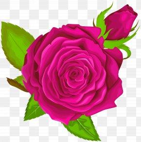 Pink Rose Decorative Clip Art Image - Garden Roses Centifolia Roses Clip Art PNG