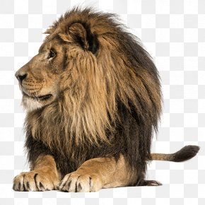 Lion Pride - Lionhead Rabbit East African Lion Tiger Lion Cubs Stock Photography PNG