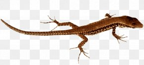 Lizard Pic - Lizard Komodo Dragon Clip Art PNG