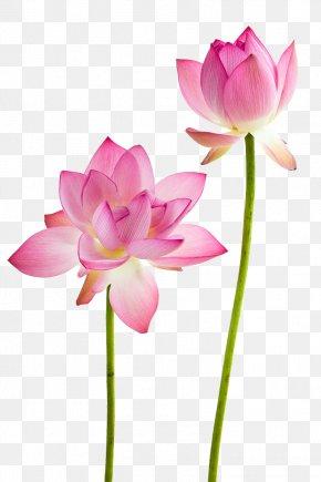 Lotus Flowers - Water Lily Nelumbo Nucifera Flower Stock Photography PNG