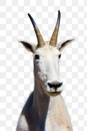 Goat - Mountain Goat Clip Art PNG