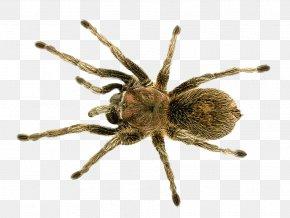 Spider - Barn Spider PNG