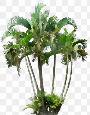 Howea Forsteriana Palm Trees Small Canary Island Date Palm PNG