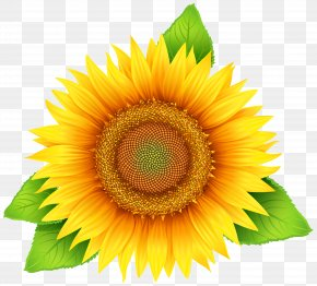 Sunflower Clipart Image - Common Sunflower Pixel PNG