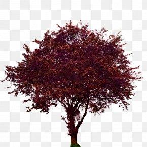 Plum - Tree Maple Plum Woody Plant PNG