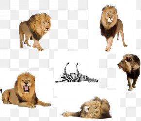 Popular Science - East African Lion Terrestrial Animal Fauna Fur PNG
