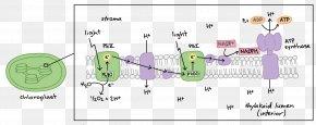 Light - Light-dependent Reactions Photosynthesis Biology Light-independent Reactions PNG