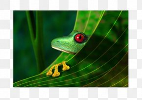 Frog - Amazon Rainforest Red-eyed Tree Frog Stock Photography PNG
