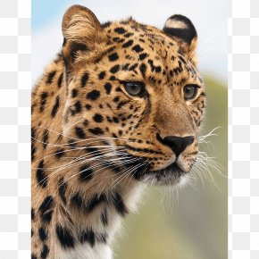 Cheetah - Cheetah Leopard Cougar Tiger Lion PNG