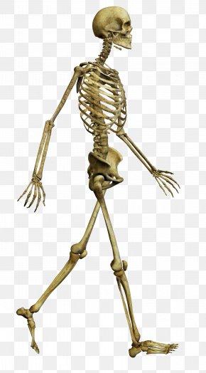 Walking Skeleton - Human Skeleton Bone Skull Human Body PNG