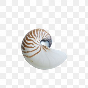 Conch - Chambered Nautilus Seashell Sea Snail Gastropod Shell PNG