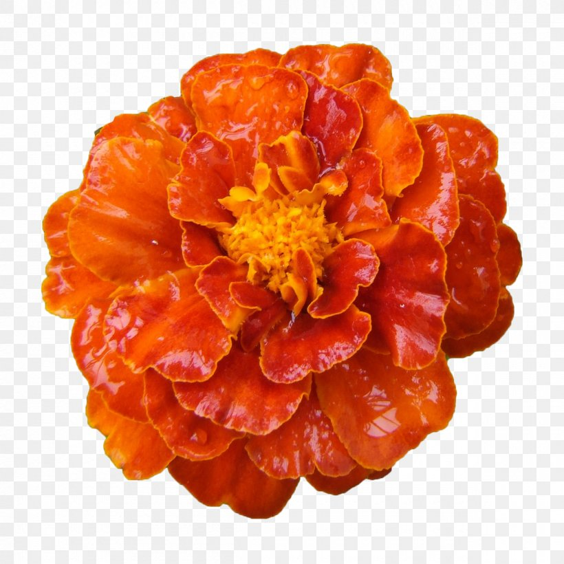 Mexican Marigold Calendula Officinalis Flower, PNG, 1200x1200px, Mexican Marigold, Calendula Officinalis, Daisy Family, Flower, Fundal Download Free