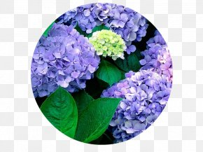 Flower - French Hydrangea Flower Garden Seed PNG
