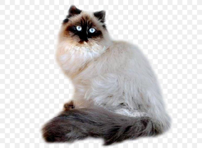 Asian Semi Longhair Persian Cat Himalayan Cat Birman