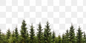 Tree - Tree Evergreen Conifers Forest Branch PNG