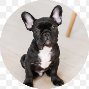 Bulldog - French Bulldog Parson Russell Terrier Jack Russell Terrier Puppy PNG