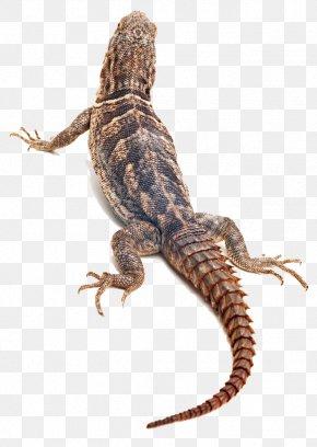 Lizard Animal Back - Lizard Reptile Chameleons Snake Frog PNG