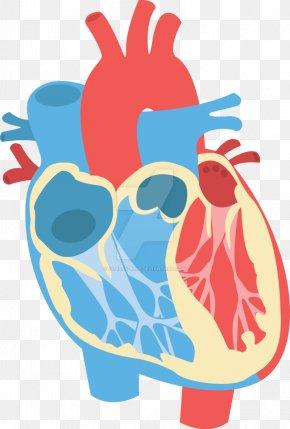 Diagram - Heart Diagram Anatomy Clip Art PNG