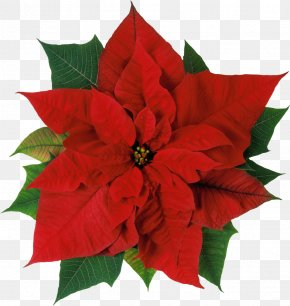 Christmas Flowers - Poinsettia Flower Christmas Stock Photography Clip Art PNG