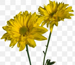 Spring Flowers - Glebionis Coronaria Cut Flowers Daisy Family Annual Plant PNG