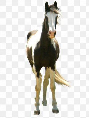 Horse - Mustang American Paint Horse Australian Stock Horse Standing Horse PNG