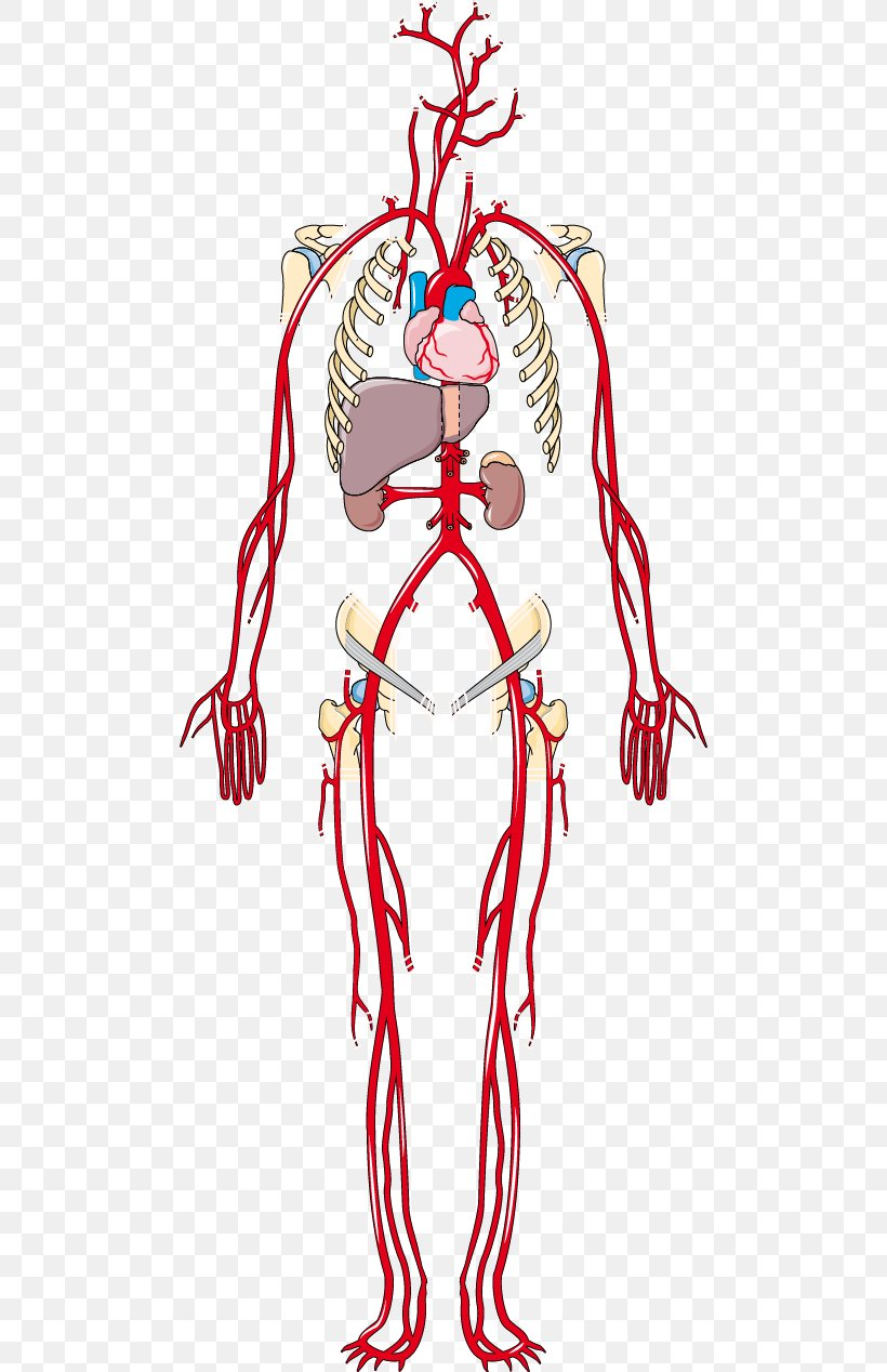 Artery Vein Human Body Anatomy Clip Art Png 488x1268px Watercolor Cartoon Flower Frame Heart Download Free