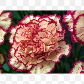 Flower - Growing Carnations Flower Mexican Marigold Seed PNG