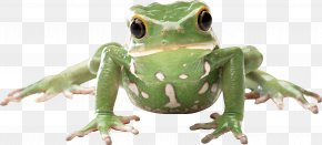 Frog Image - Poison Dart Frog Dog Display Resolution Wallpaper PNG