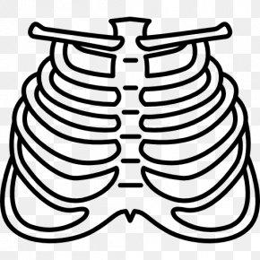 Ribs - Rib Human Body Homo Sapiens Bone PNG