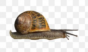 Snail - Snail Clip Art PNG