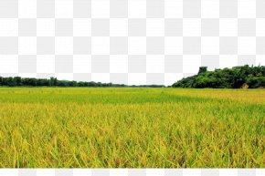 Golden Rice Fields - Field Farm Lawn Crop Energy PNG